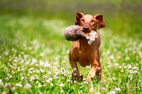 photodune-4054223-brown-vipet-dog-playing-in-clover-field-s